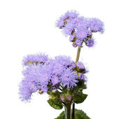 Blue Ageratum (Bluemink) flowers isolated on white — Stock Photo