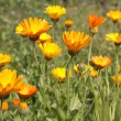 Pot marigold (calendula) flowers — Stock Photo #32545043