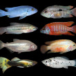 Stock Photo: Set of aquarium fishes on black background