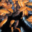 African Cichlids (Yellow mbuna) aquarium fishes — Stock Photo