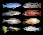 Set of aquarium fishes on black background — Stock Photo