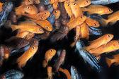 African Cichlids (Yellow mbuna) aquarium fishes — Stock Photo
