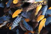 African Cichlids (Blue mbuna) aquarium fishes — Stock Photo