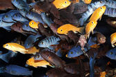 African Cichlids (Blue mbuna) aquarium fishes — Stock Photo
