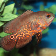 Stock Photo: Oscar (Astronotus ocellatus) aquarium fish