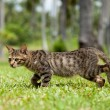 Stray Cat Walking in Long Grass — Stock Photo #12892677