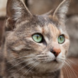 Alert Tortoiseshell-Tabby Cat - Stock Photo