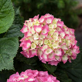 White and Pink Hydrangea Flower and leaves — Stock Photo