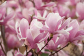 Clusters of Magnolia Blooms — Stock Photo