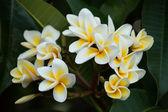 Cluster of Frangrant Frangipani Flowers — Stock Photo