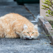 Stock Photo: Wary Ginger Tabby Cat on Sidewalk