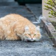 Wary Ginger Tabby Cat on the Sidewalk — Foto de Stock