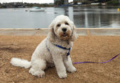 Bichon Frise Dog Out for a Walk — Stock Photo