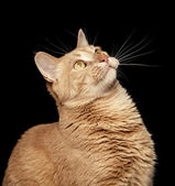 Ginger Cat on Black Background Looking Up — Stock Photo