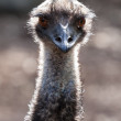 Emu Head and Neck in the Sunlight — Stock Photo