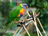 Rainbow Lorikeet in the Garden — Stock Photo