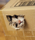 Cat Looking Through a Hole in Cardboard Box — Stock Photo