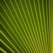 Stock Photo: Beautiful Pattern of Palm Leaf