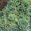 Hens and Chicks (Echeverielegans) between two rocks — Stock Photo #37907011