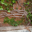 Creeping Fig growing out of concrete and up a brick wall — Stock Photo
