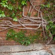 Creeping Fig growing out of concrete and up a brick wall — Stock Photo #37907493