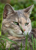 Tortoiseshell-tabby cat with grass in garden — Stock Photo