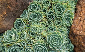 Hens and Chicks (Echeveria elegans) between two rocks — Stock Photo