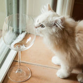 Curious White Kitten Smelling an Empty Wine Glass — Stock Photo