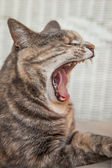 Tortoiseshell-tabby Cat Yawning — Stock Photo