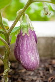Eggplant Growing in the Vegetable Garden — Stock Photo