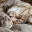 Stock Photo: Sleeping Tortoiseshell-Tabby Cat