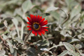 Dramatic Red Osteospermum Daisy Flower — Stock Photo