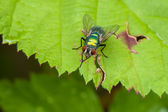Green iridescent fly on raspberry leaf — Stock Photo