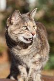 кошка черепаховая табби стоя и мяуканье — Стоковое фото