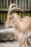 African Barbary Sheep at the Zoo — Stock Photo