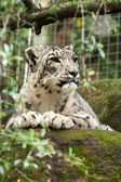 Snow Leopard in Captivity — Stock Photo
