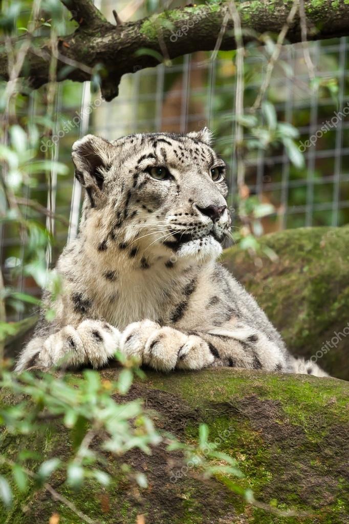 休息雪豹 (雪豹或温西亚温西亚) 显示巨大的爪子在当地动物园— photo