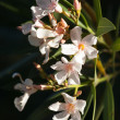 Stock Photo: High Contrast Image of Salmon Coloured Oleander Flowers  in Sunl