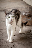 Green-Eyed White and Grey Tabby Cat Waiting on the Doorstep — Stock Photo