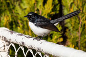 Willie Wagtail Bird on a White Fence — Stock Photo
