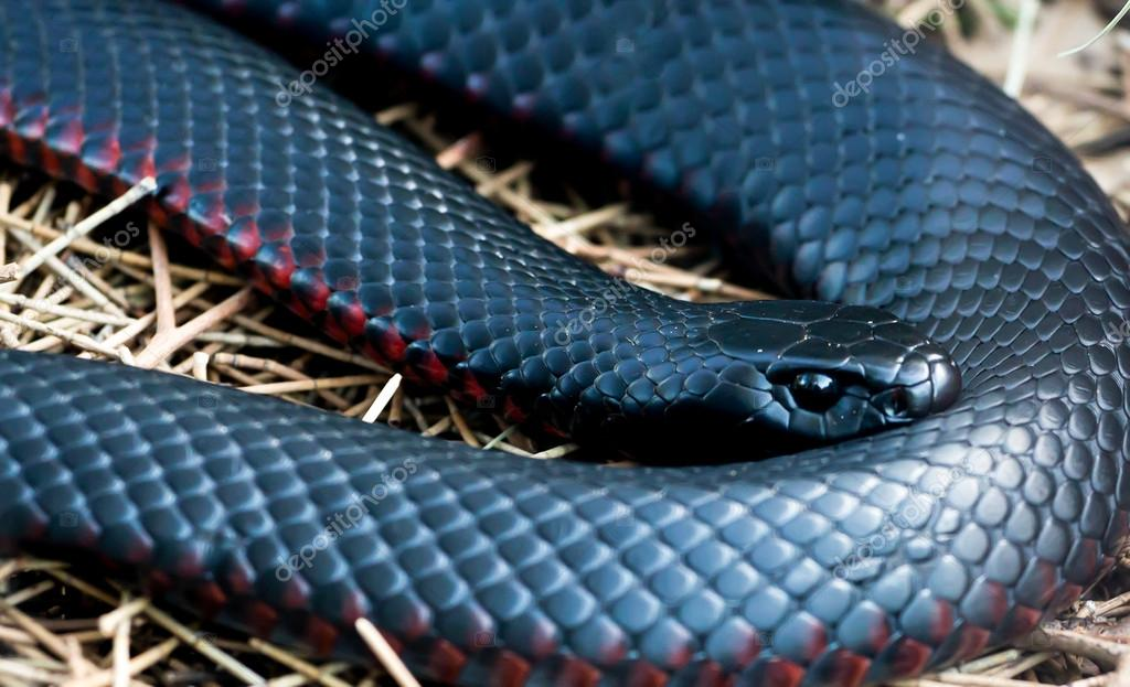 Red Bellied Black Snake Pseudechis Porphyriacus a Red Bellied Black Snake