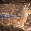 Stock Photo: Chital Deer Doe (Axis axis) Lying on Ground