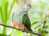 Rose-Crowned Fruit Dove Perching on a Branch — Stok fotoğraf