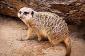 Meerkat Looking Up after Digging in Sand — Stock Photo