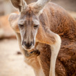 Red Kangaroo Looking at Camera and Scratching — Stock Photo #42798651