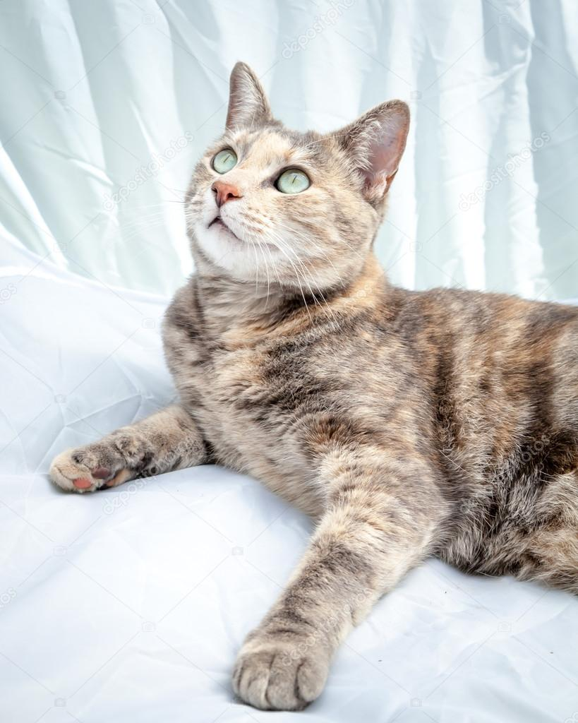Differences Between Tortoiseshell and Calico Cats Tortoiseshell tabby cat pictures