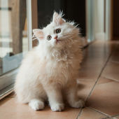 Long-haired White Kitten Looking Up — Stock Photo