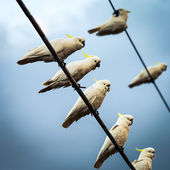 White Cockatoos on Telephone Wires — Stock Photo