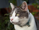 White and Grey Tabby Cat Close-up Guarding her Home — Stock Photo