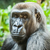Female Lowland Gorilla Looking Serious or Bored — Foto Stock